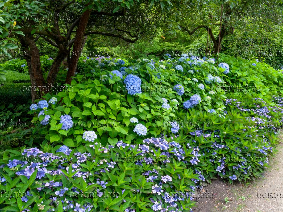 Image Hydrangea garden 462160 Images and videos of