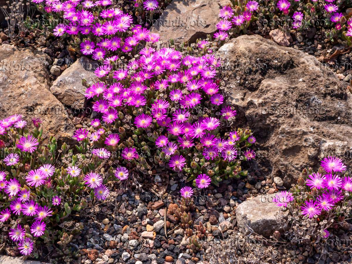 How to Plant and Grow Ice Plant (Lampranthus)