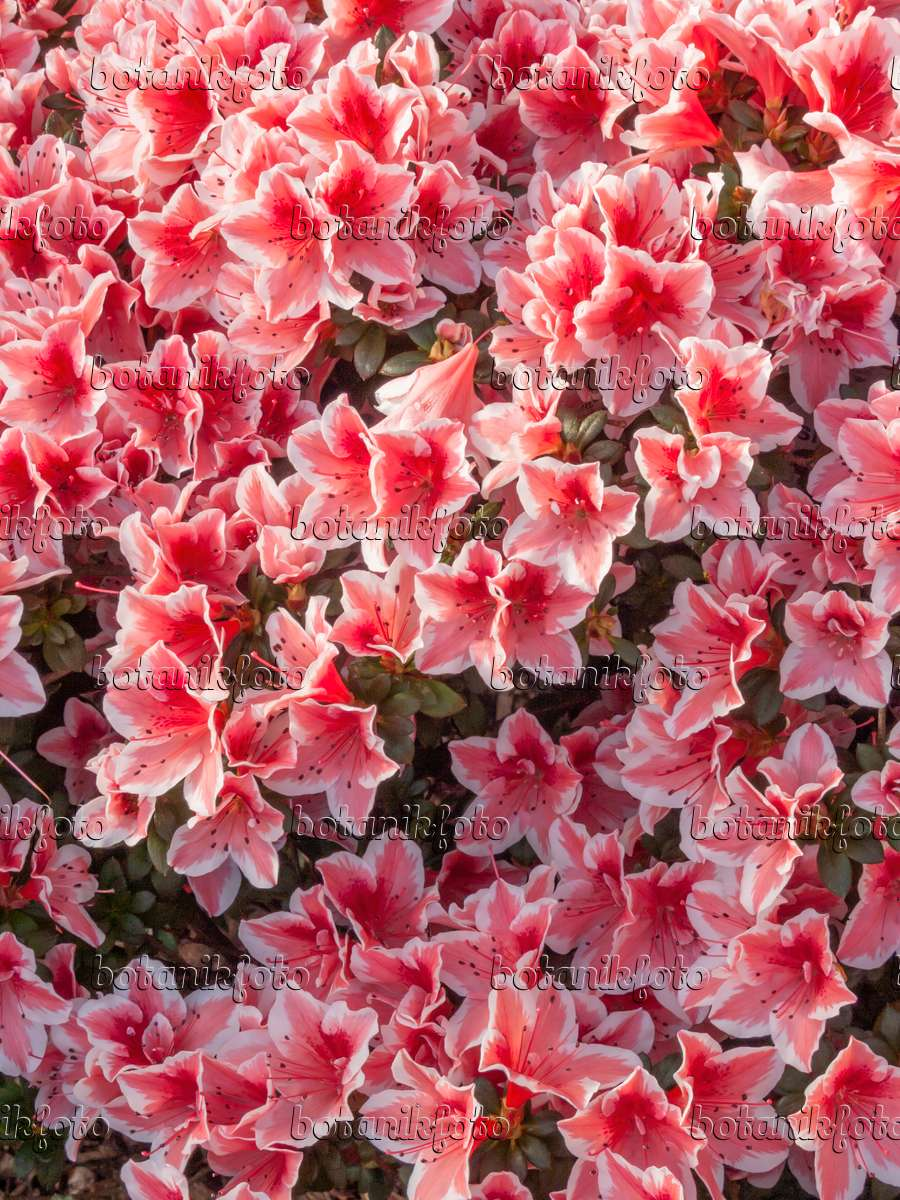image indian azalea rhododendron simsii 39 mevrouw gerard. Black Bedroom Furniture Sets. Home Design Ideas