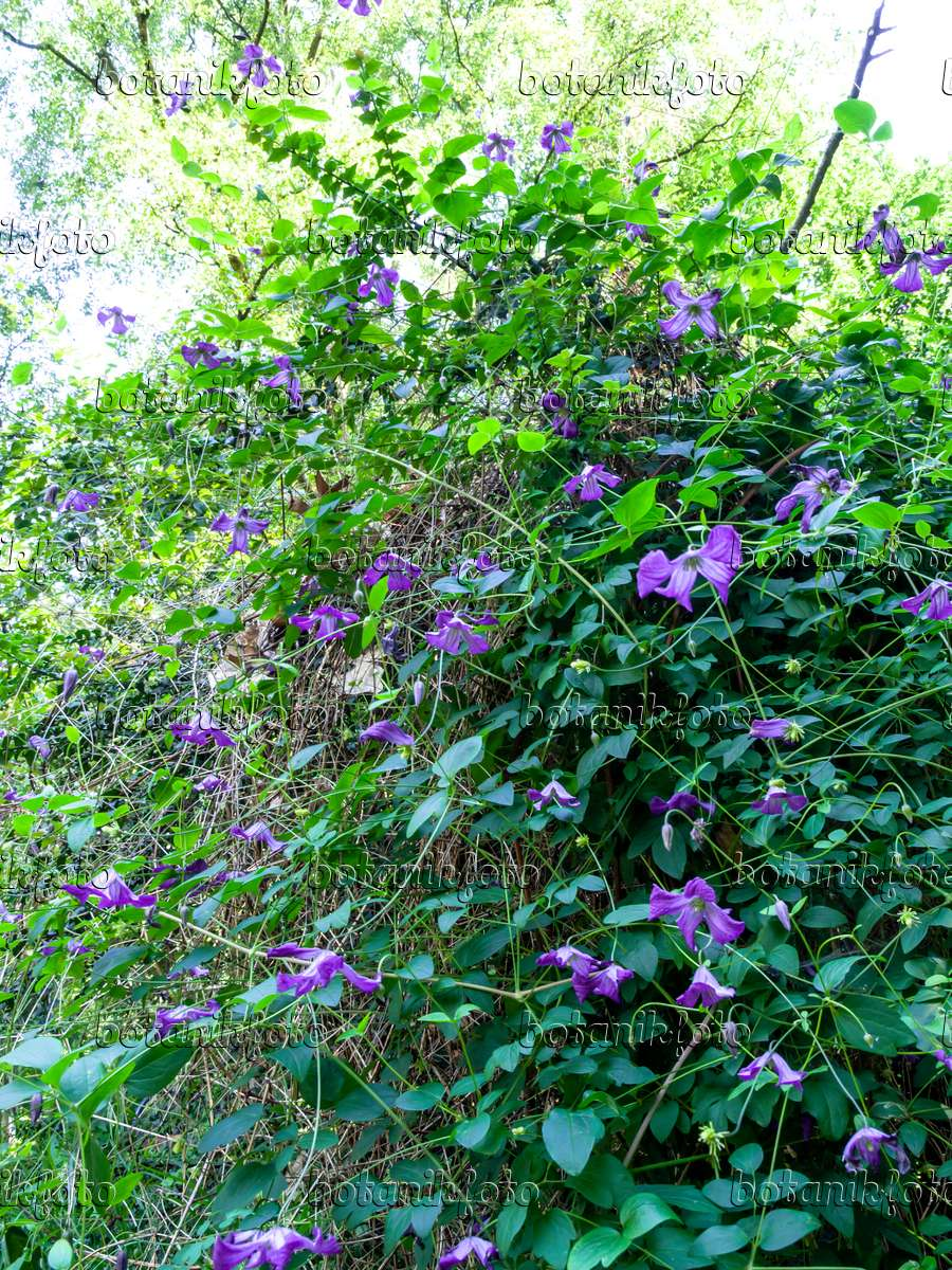 image italian clematis clematis viticella 427141 images and videos of plants and gardens. Black Bedroom Furniture Sets. Home Design Ideas