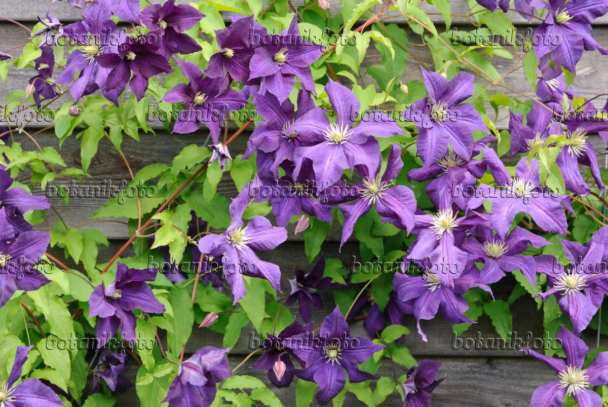 image italian clematis clematis viticella 39 aotearoa 39 518044 images and videos of plants. Black Bedroom Furniture Sets. Home Design Ideas