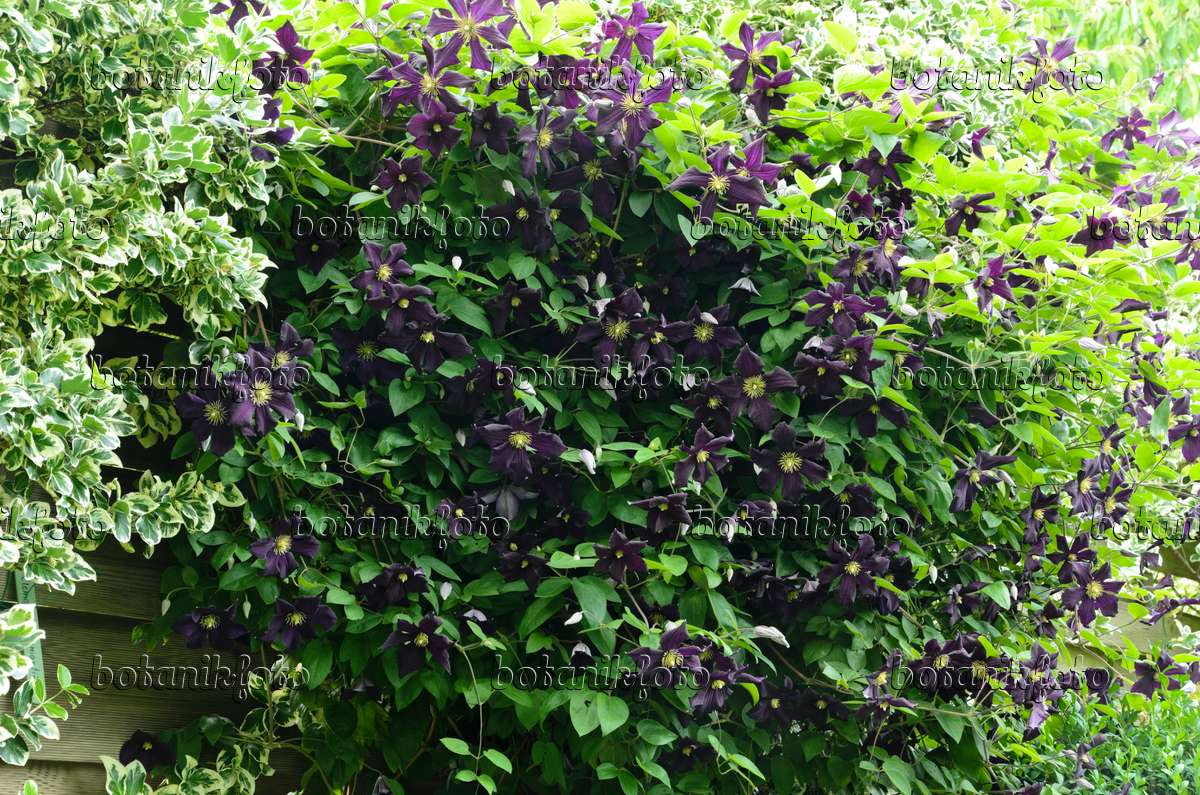 image italian clematis clematis viticella 39 romantika 39 497180 images and videos of plants. Black Bedroom Furniture Sets. Home Design Ideas