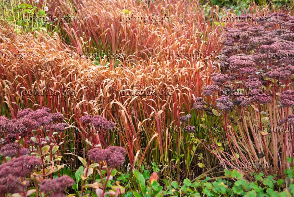 Image japanese blood grass imperata cylindrica 39 red baron - Imperata cylindrica red baron ...