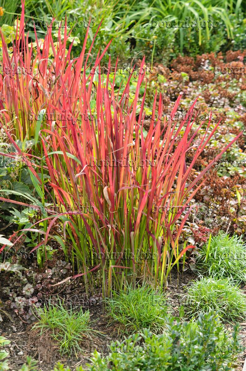 image japanese blood grass imperata cylindrica 39 red baron 39 syn imperata cylindrica 39 rubra. Black Bedroom Furniture Sets. Home Design Ideas