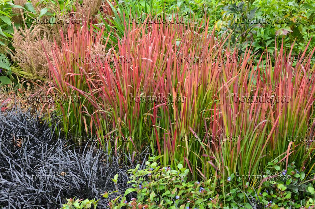 image japanese blood grass imperata cylindrica 39 red baron. Black Bedroom Furniture Sets. Home Design Ideas