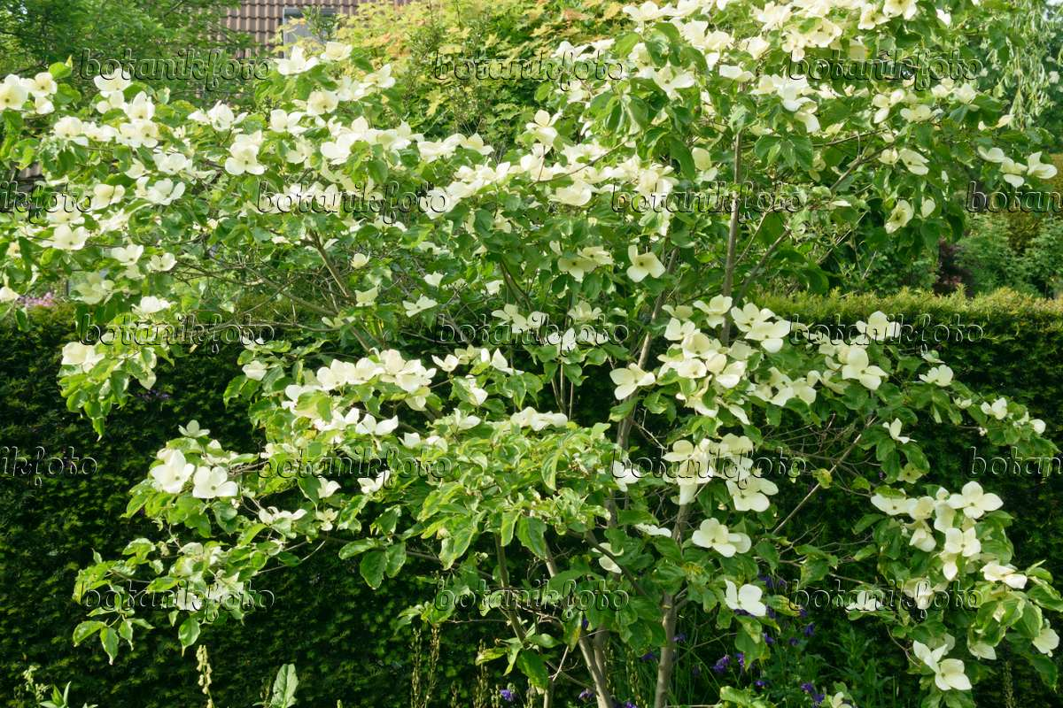 image japanese dogwood cornus kousa 39 venus 39 556069 images and videos of plants and gardens. Black Bedroom Furniture Sets. Home Design Ideas