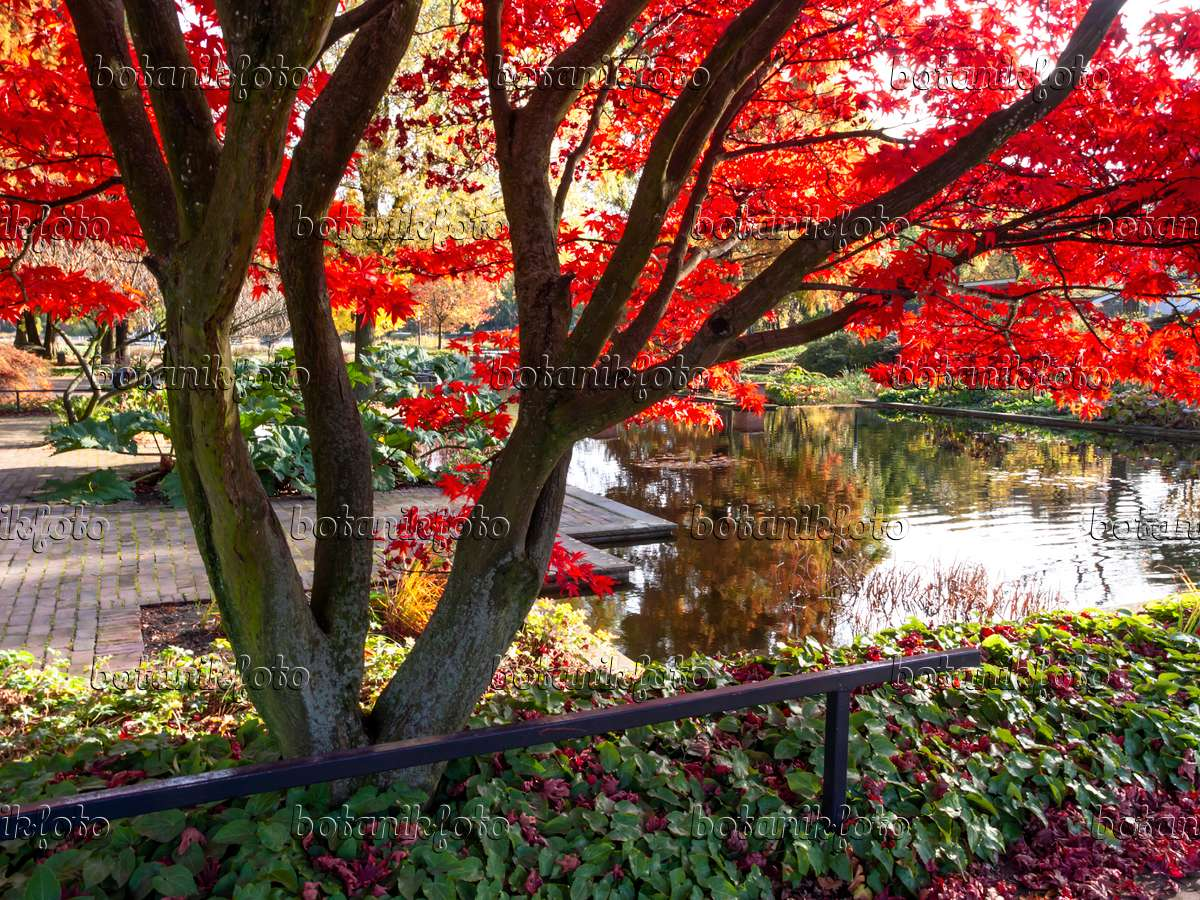 japanische hauser image japanese maple acer japonicum 465276 images endresshauser japan co ltd