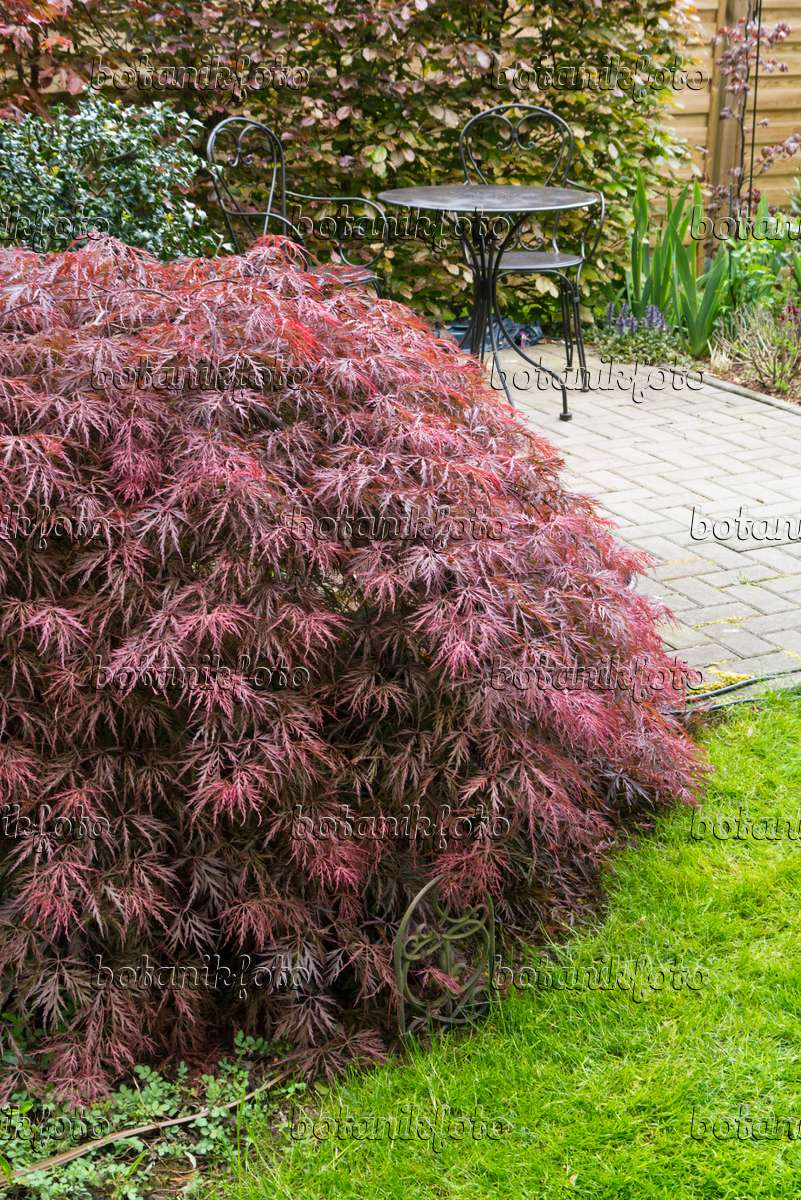 image japanese maple acer palmatum 39 dissectum garnet 39 544150 images and videos of plants. Black Bedroom Furniture Sets. Home Design Ideas