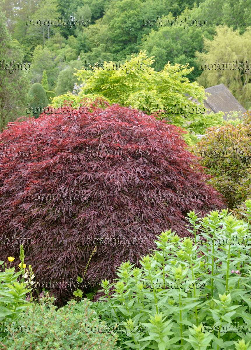 image japanese maple acer palmatum 39 dissectum garnet 39 558028 images and videos of plants. Black Bedroom Furniture Sets. Home Design Ideas