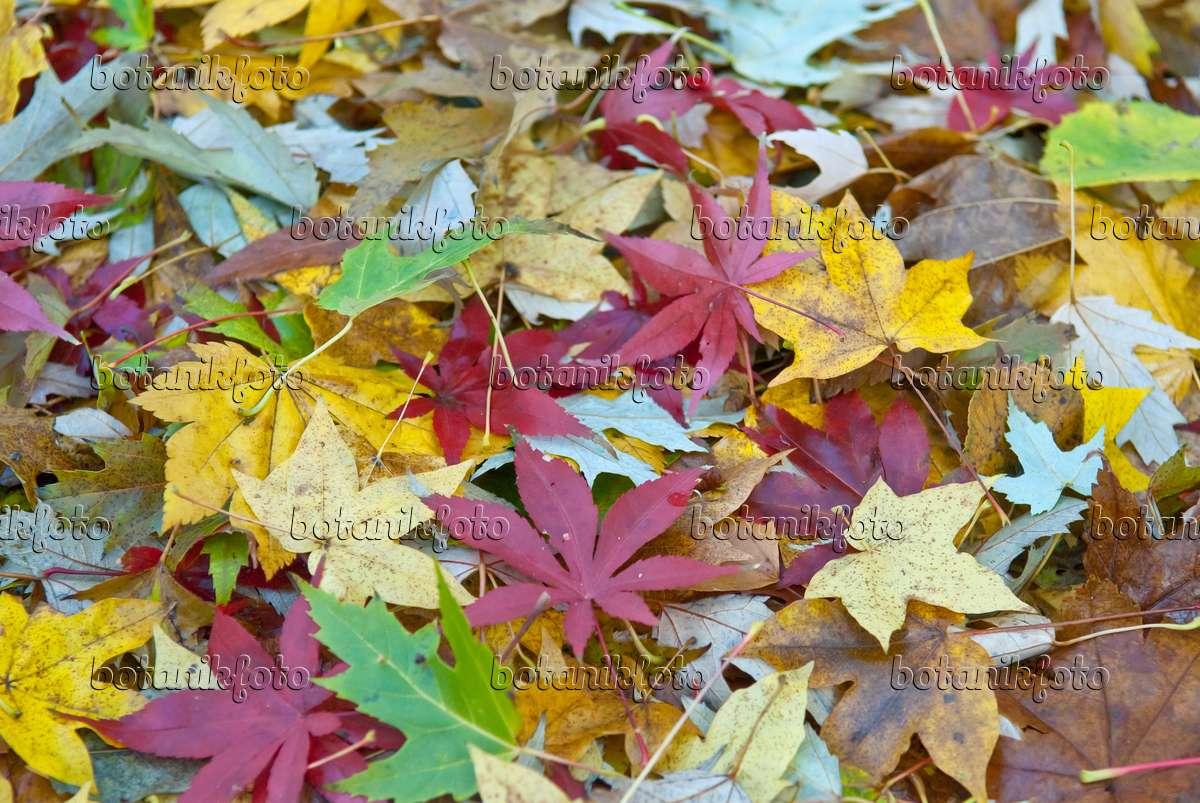 Image Japanese Maple Acer Palmatum Osakazuki 502090 Images