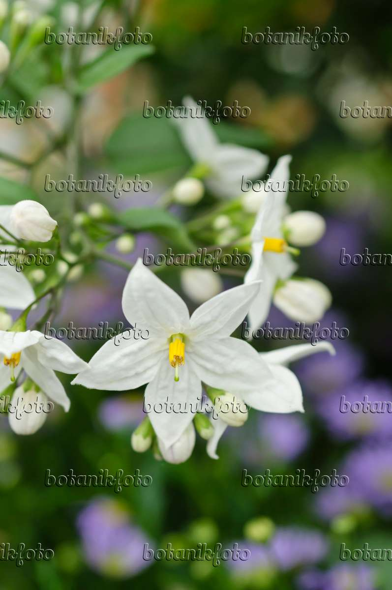 image jasmine nightshade solanum jasminoides 484105 images and videos of plants and. Black Bedroom Furniture Sets. Home Design Ideas