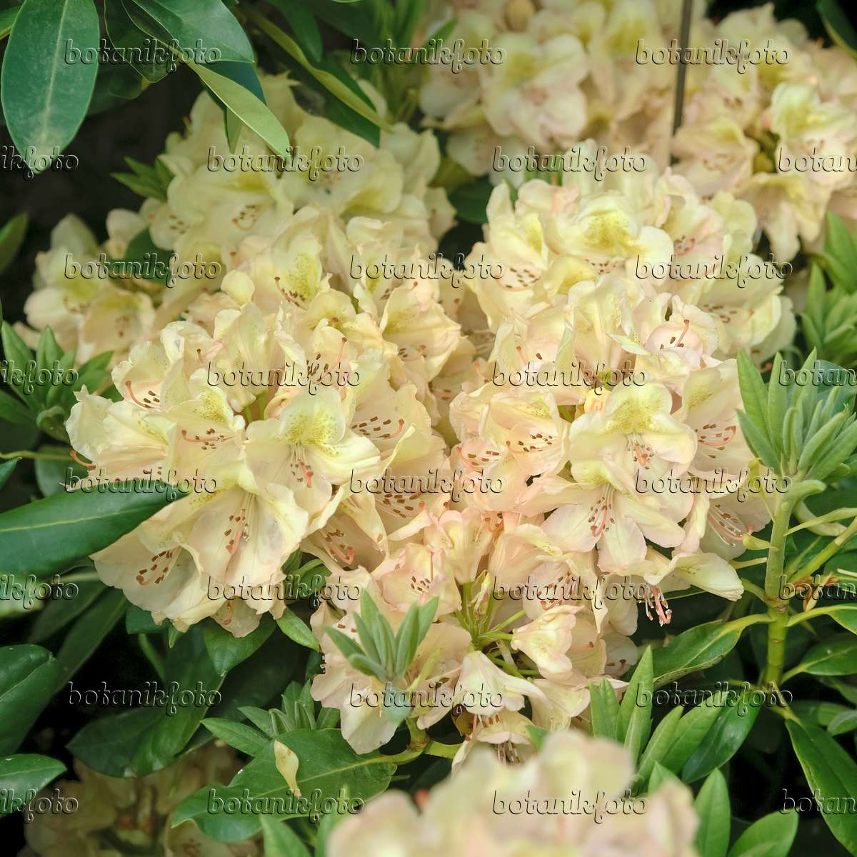 Images Rhododendrons Images And Videos Of Plants And Gardens