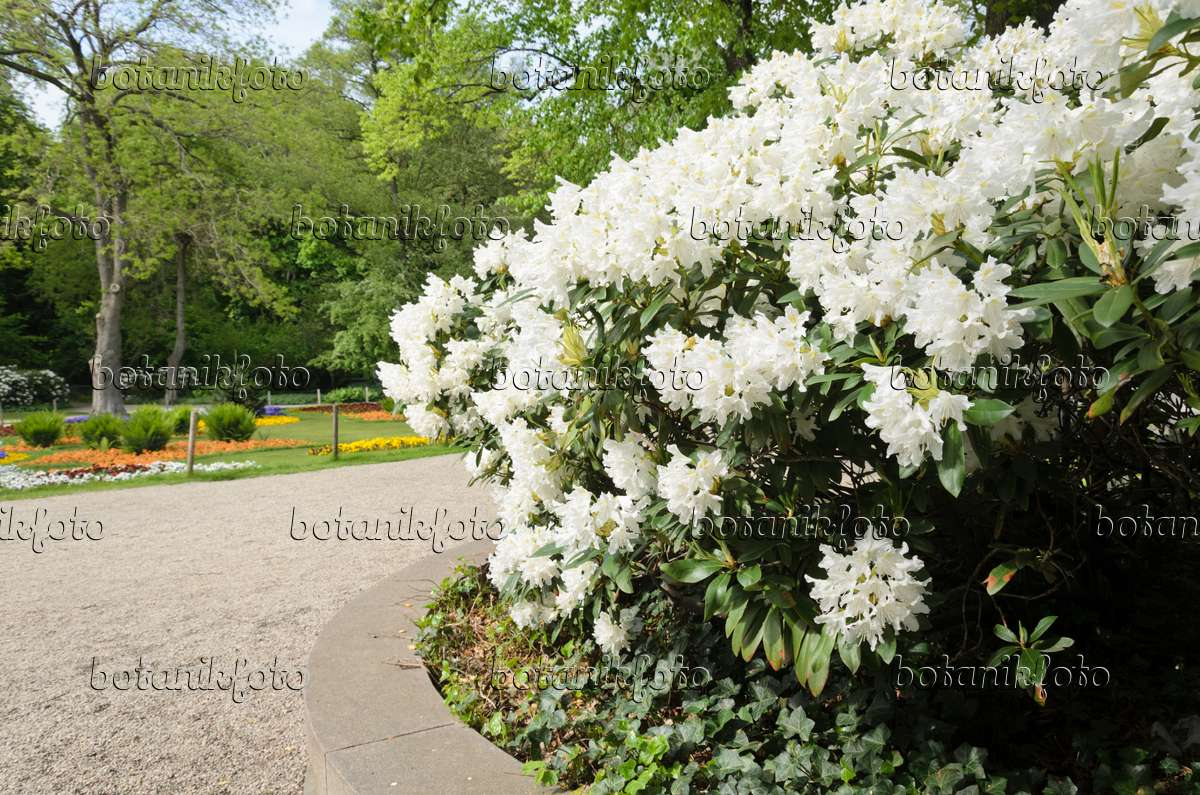 rhododendron cunningham white rhododendron 39 cunningham 39 s white 39 rhododendron file. Black Bedroom Furniture Sets. Home Design Ideas