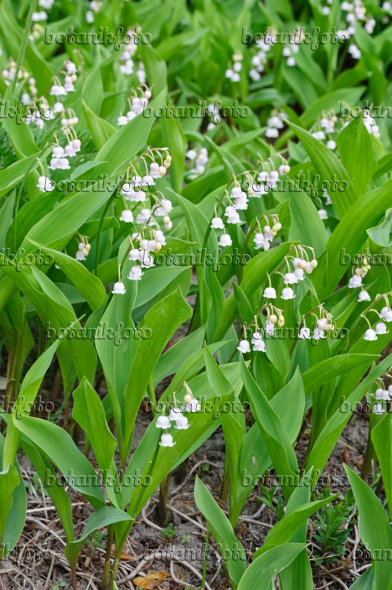 Image Lily of the valley (Convallaria majalis 'Rosea ...
