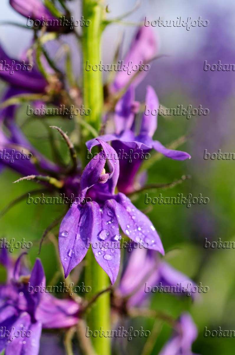 Image Lobelia Lobelia X Speciosa Fan Blue 475097 Images And