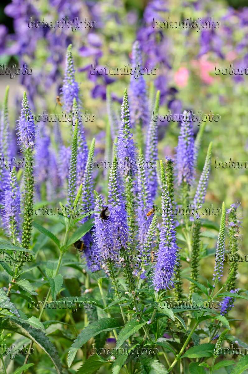 image long leaved speedwell veronica longifolia. Black Bedroom Furniture Sets. Home Design Ideas