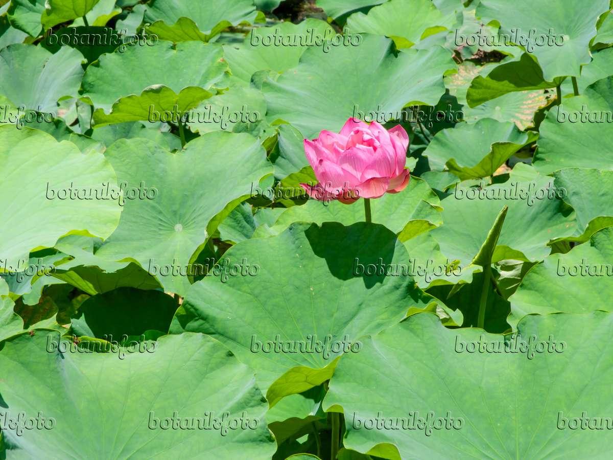 Image Lotus Flower Nelumbo Nucifera 455397 Images And Videos