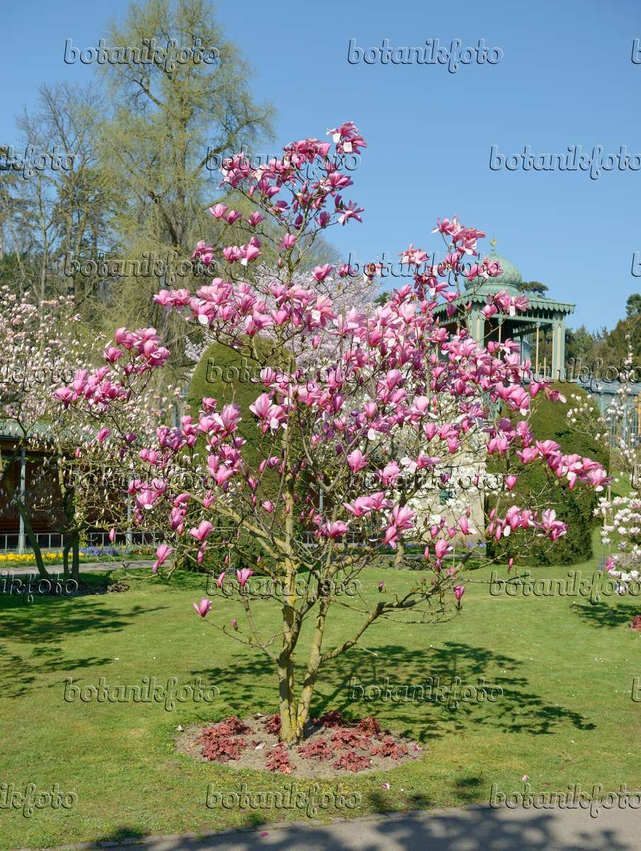 Image Magnolia Magnolia Galaxy 558137 Images And Videos Of