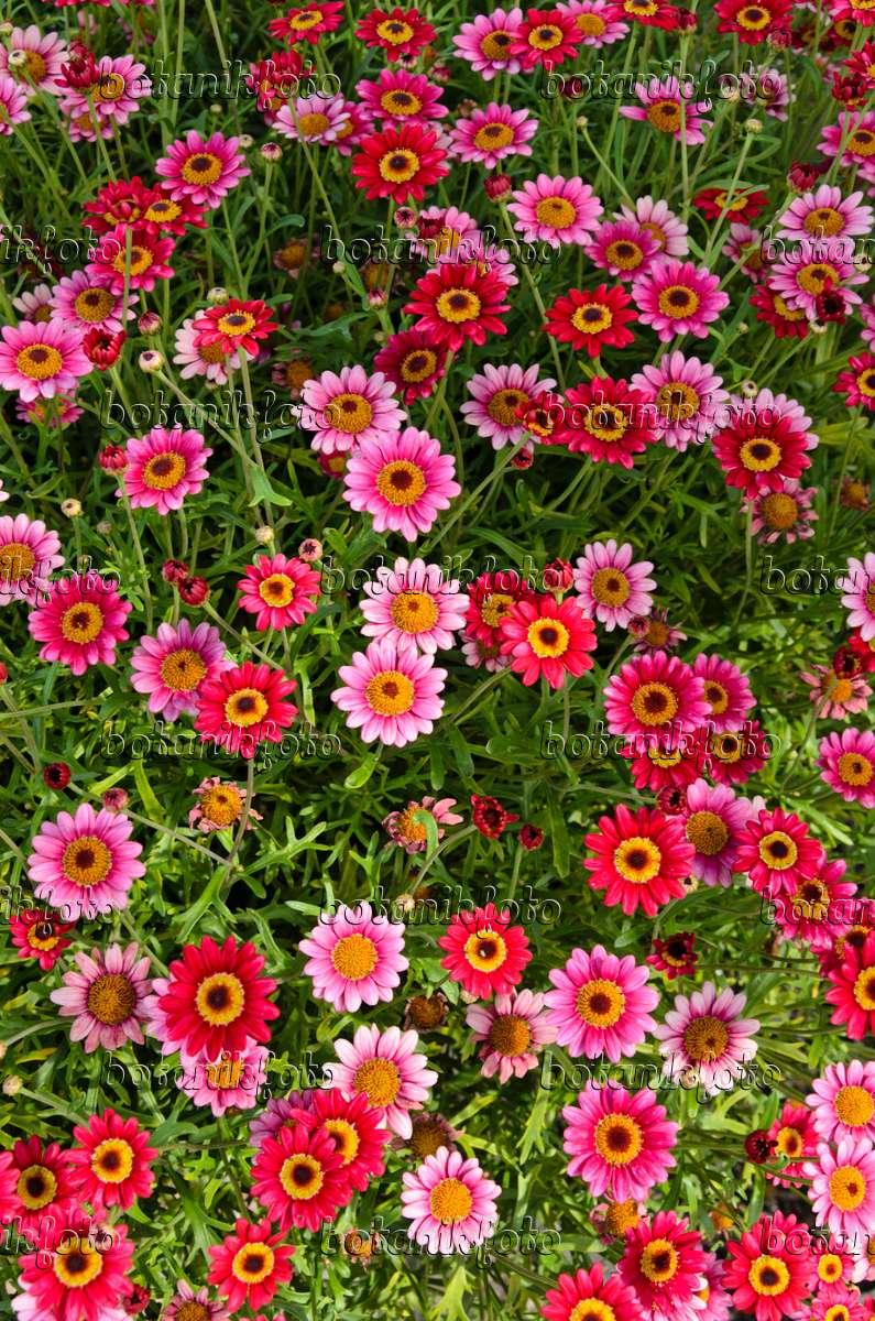 Image Marguerite Argyranthemum Frutescens 39 Madeira Deep