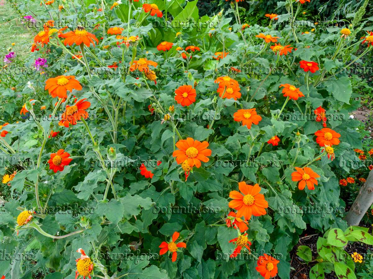 image mexican sunflower tithonia rotundifolia 463041 images and videos of plants and. Black Bedroom Furniture Sets. Home Design Ideas