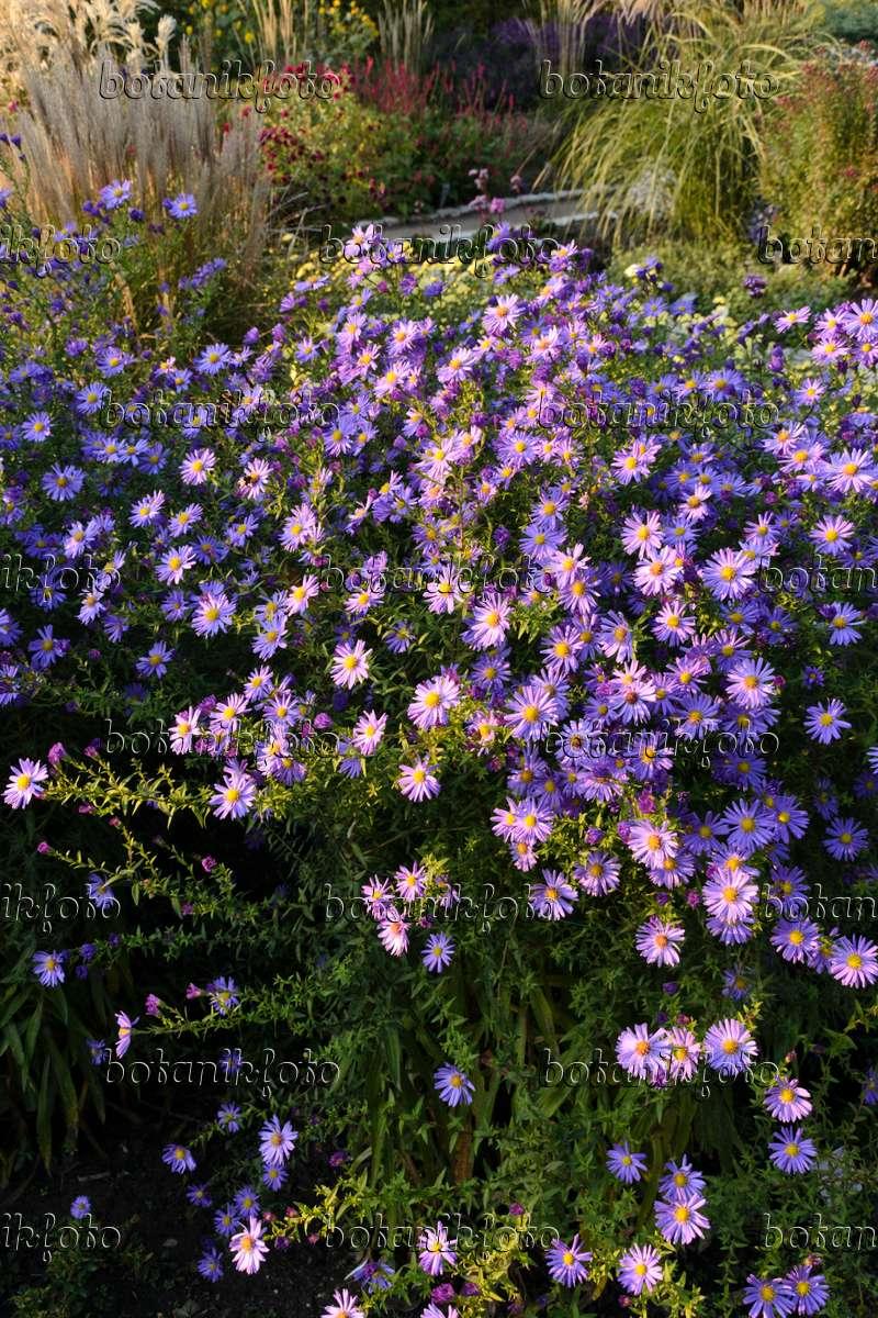 image michaelmas daisy aster novi belgii 39 dauerblau 39 489058 images and videos of plants. Black Bedroom Furniture Sets. Home Design Ideas