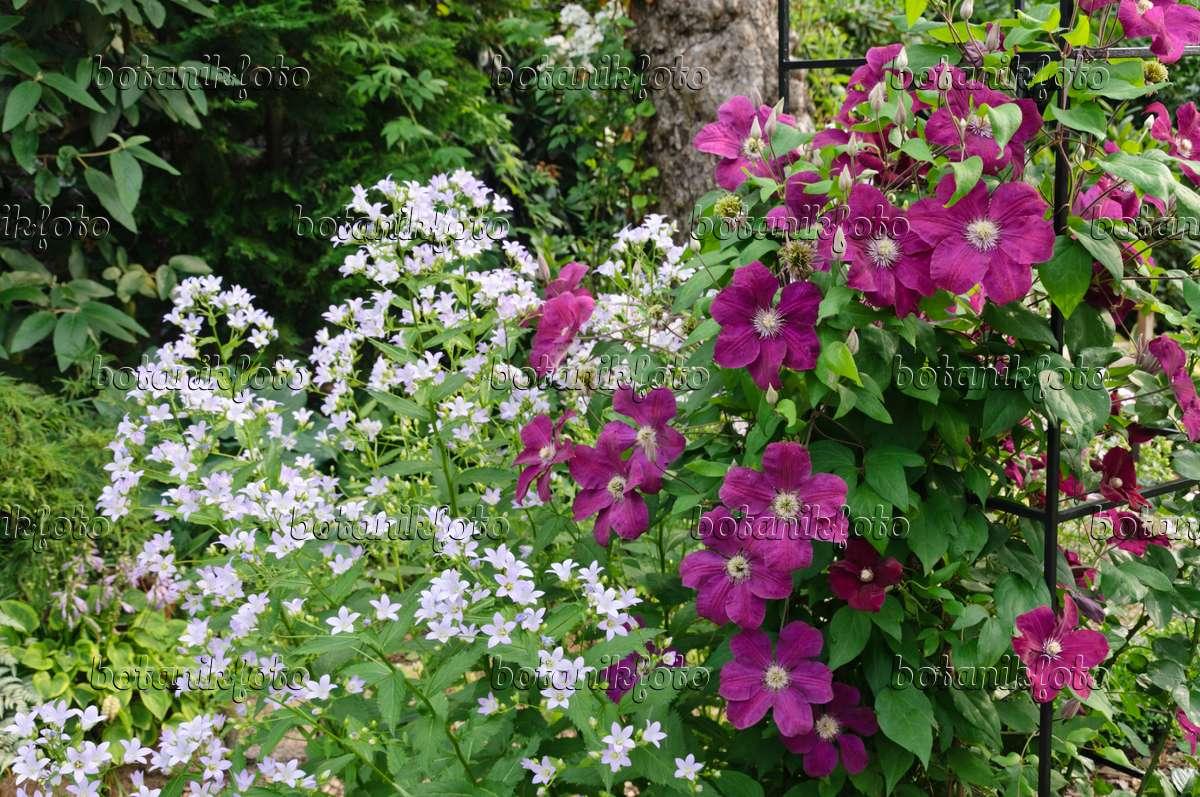 image milky bellflower campanula lactiflora and clematis. Black Bedroom Furniture Sets. Home Design Ideas