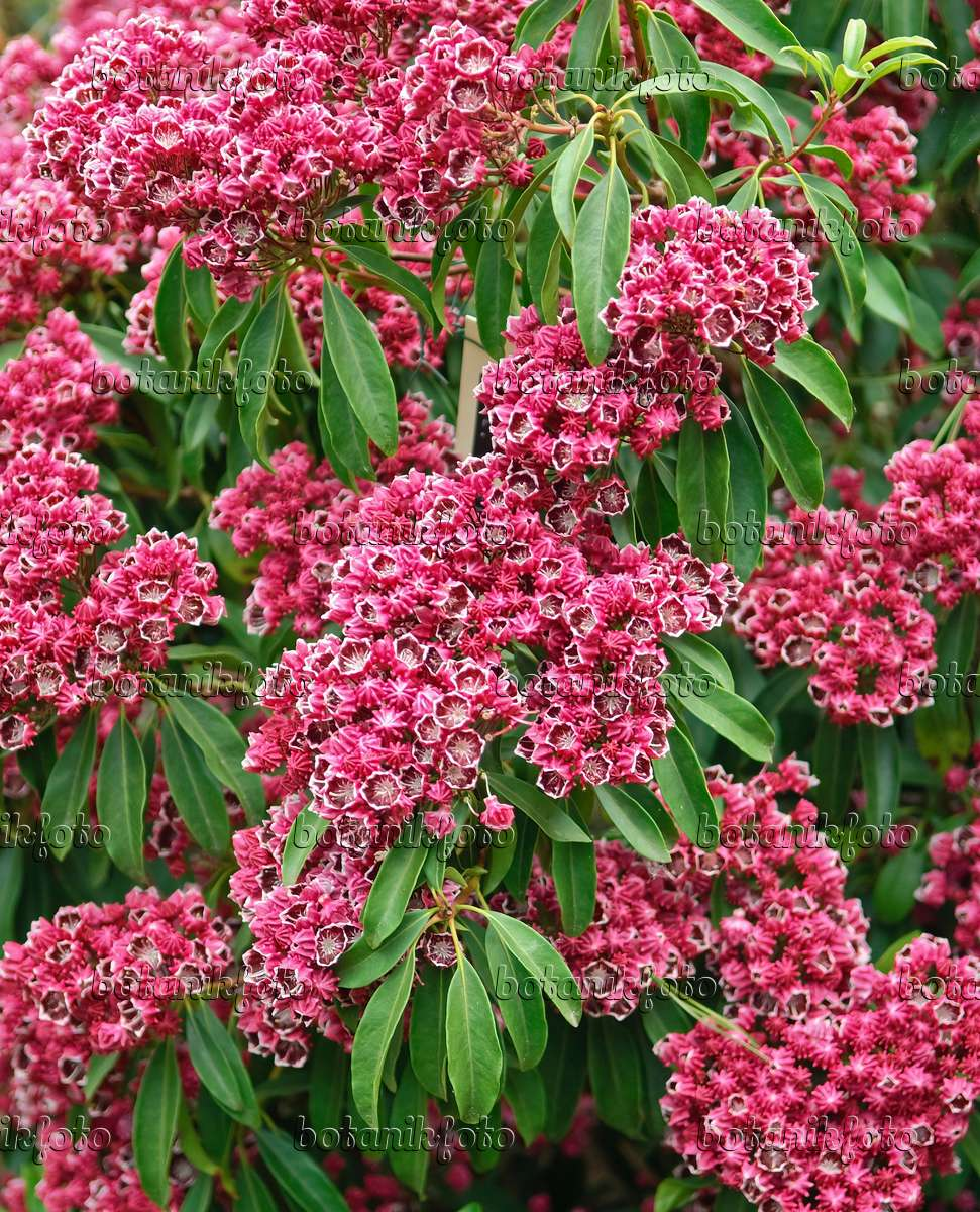 images kalmia images and videos of plants and gardens