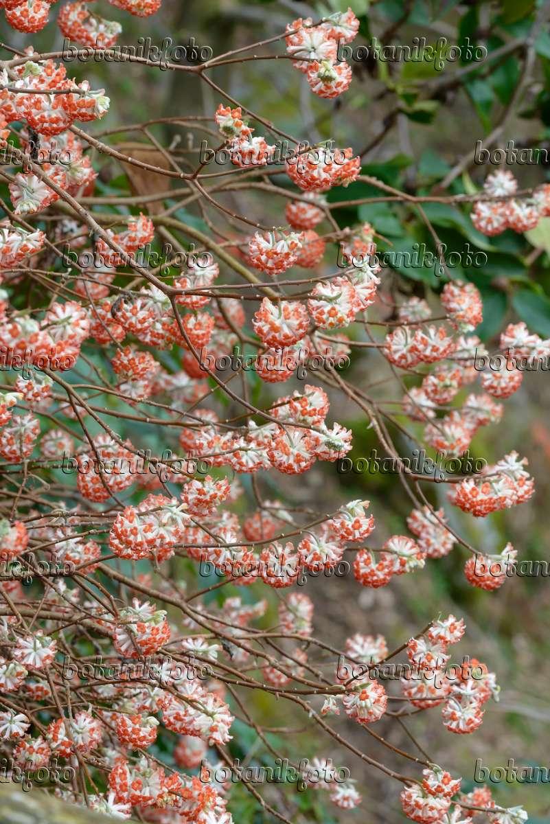 Image oriental paperbush edgeworthia chrysantha 39 akebono for Edgeworthia chrysantha