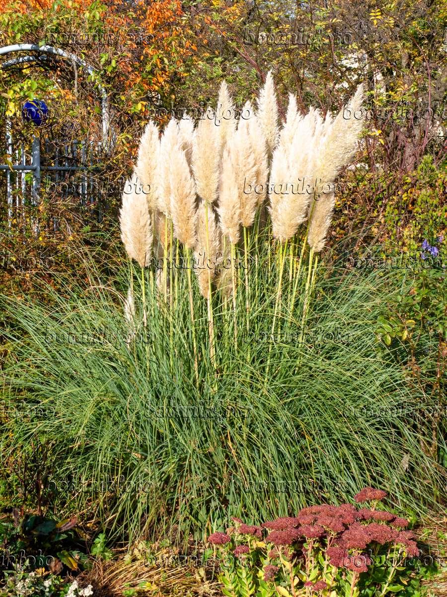 image pampas grass cortaderia selloana 465267 images. Black Bedroom Furniture Sets. Home Design Ideas