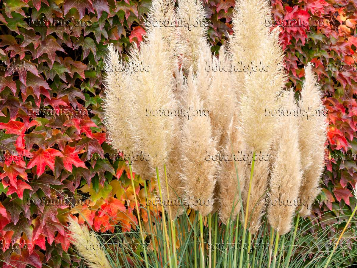 image pampas grass cortaderia selloana 39 pumila 39 and japanese creeper parthenocissus. Black Bedroom Furniture Sets. Home Design Ideas