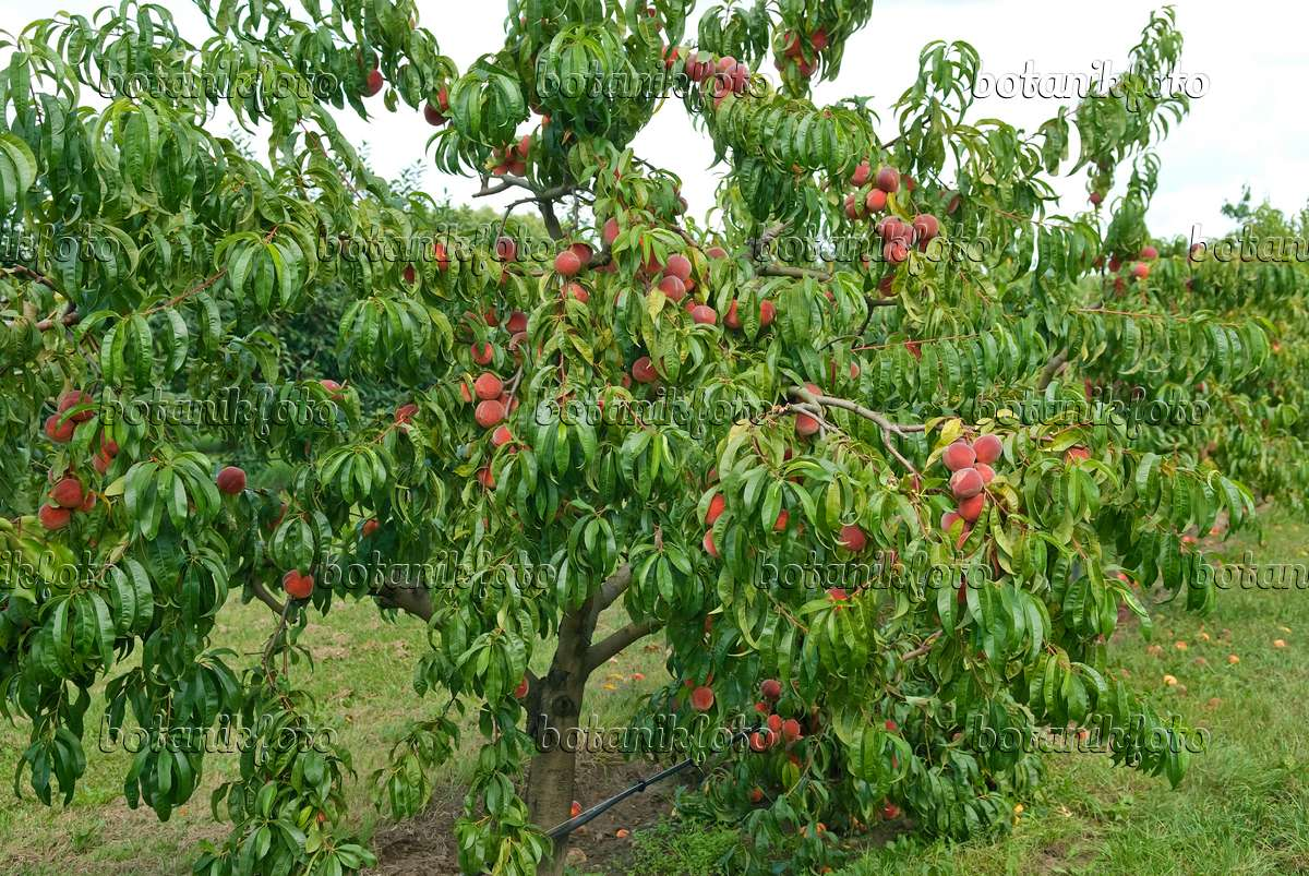 image peach prunus persica 39 red haven 39 517356 images and videos of plants and gardens. Black Bedroom Furniture Sets. Home Design Ideas