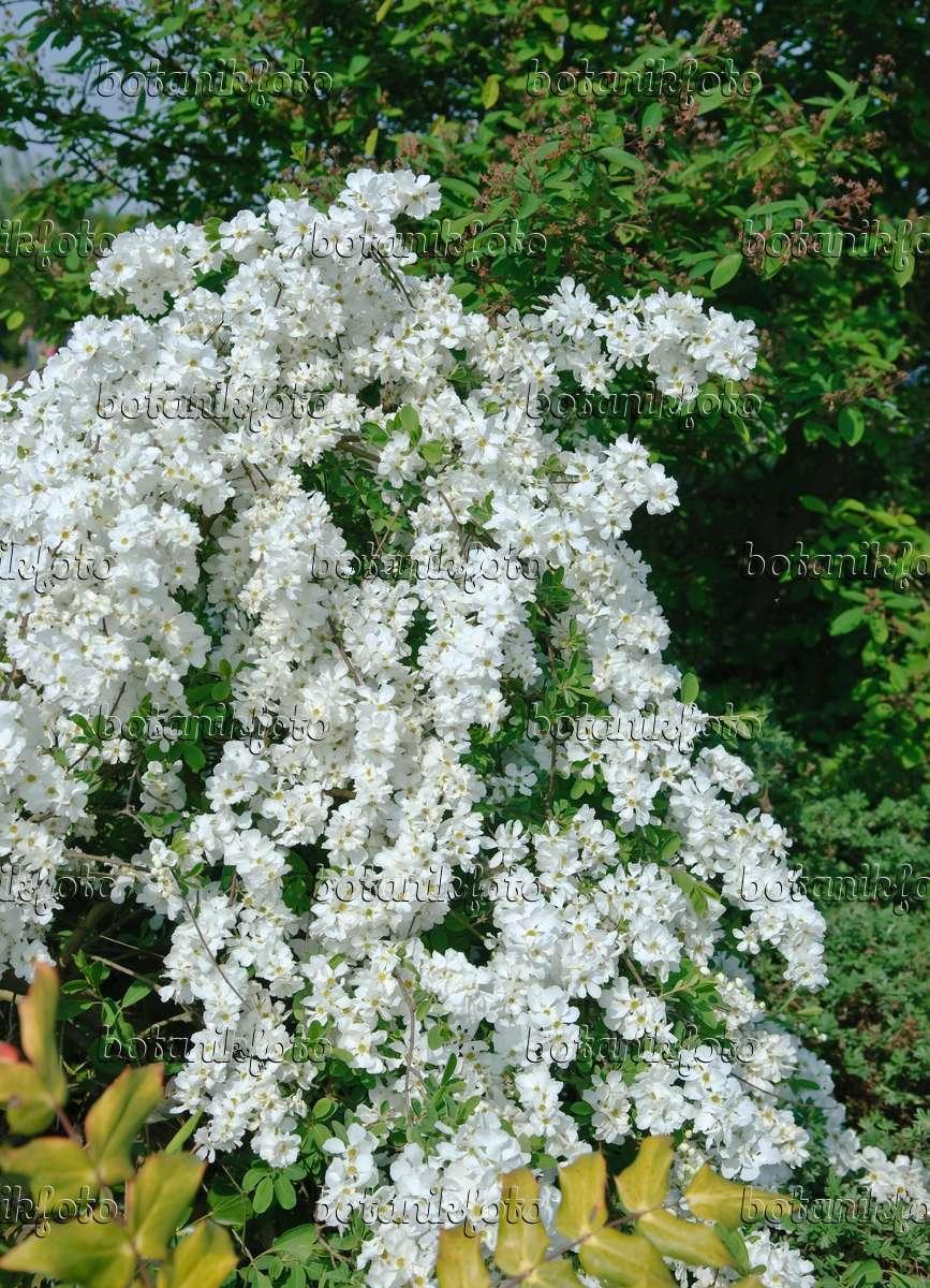 image pearl bush exochorda x macrantha 39 the bride. Black Bedroom Furniture Sets. Home Design Ideas