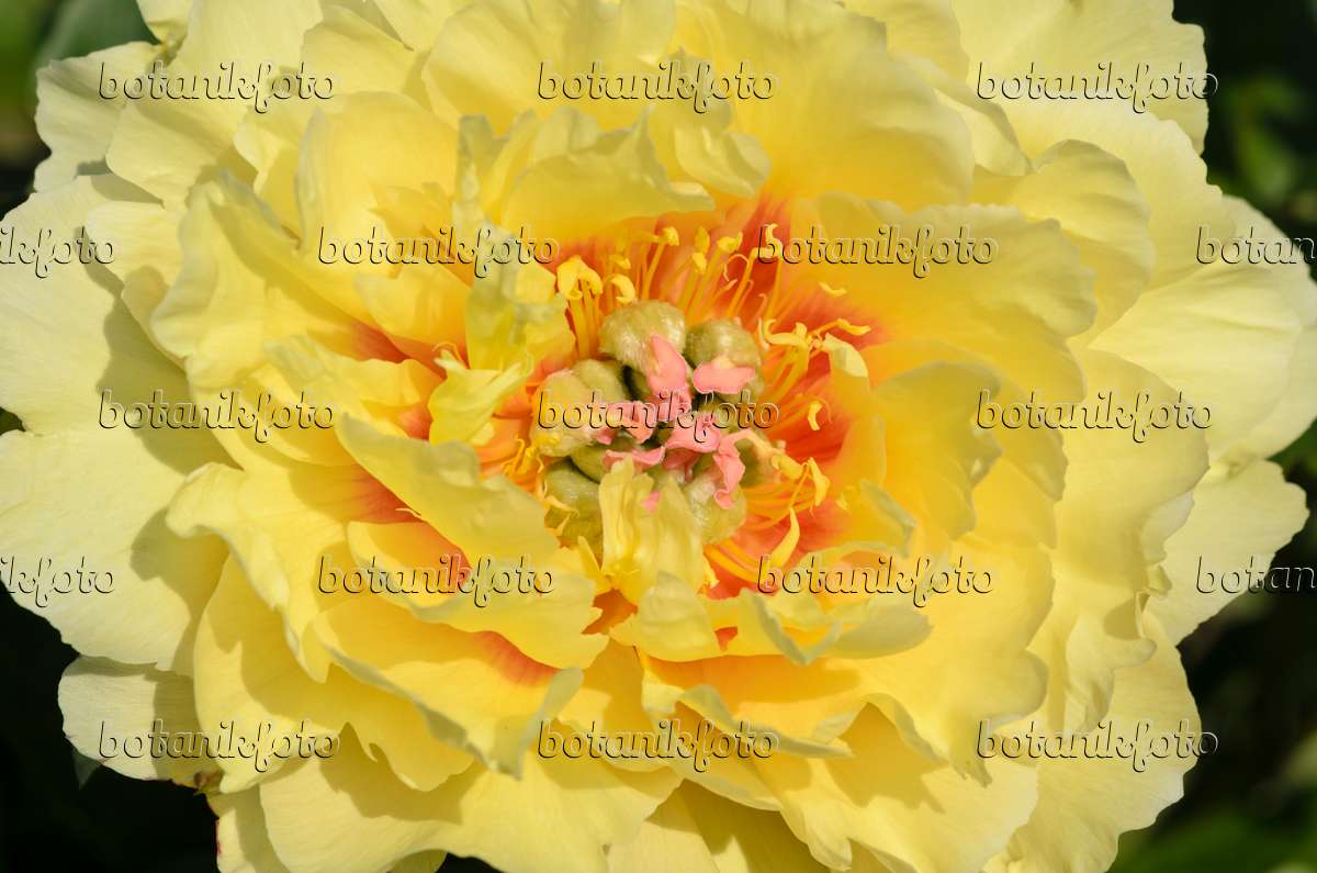Image Peony Paeonia Garden Treasure 521112 Images And Videos