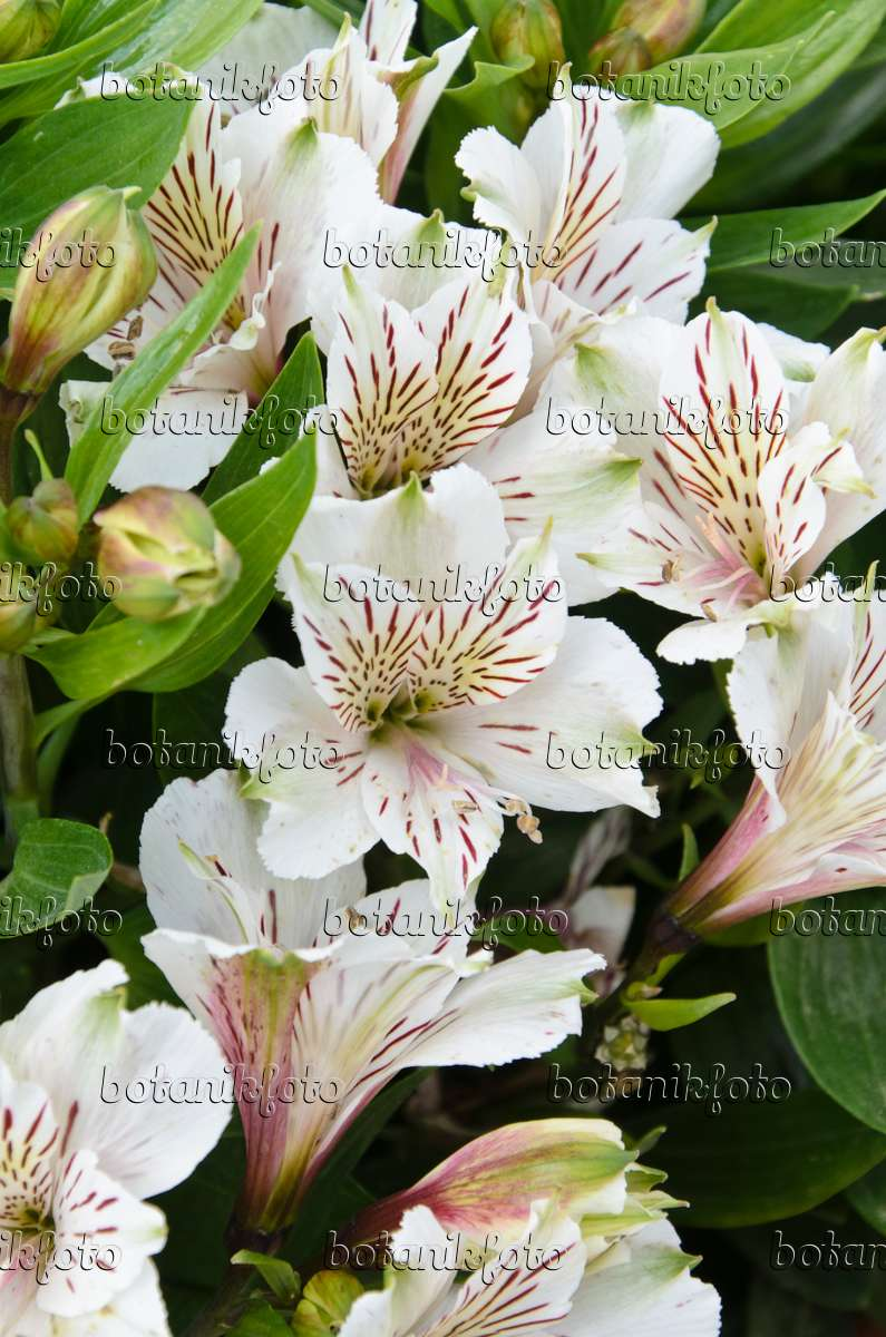 Image Peruvian Lily Alstroemeria Inticancha White 499150 Images And Videos Of Plants And Gardens Botanikfoto