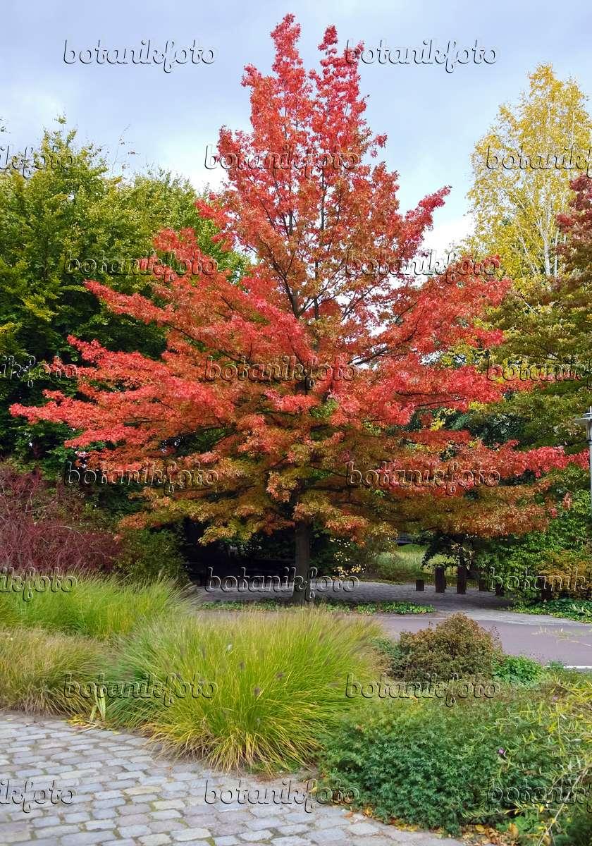 image pin oak quercus palustris 490126 images and. Black Bedroom Furniture Sets. Home Design Ideas