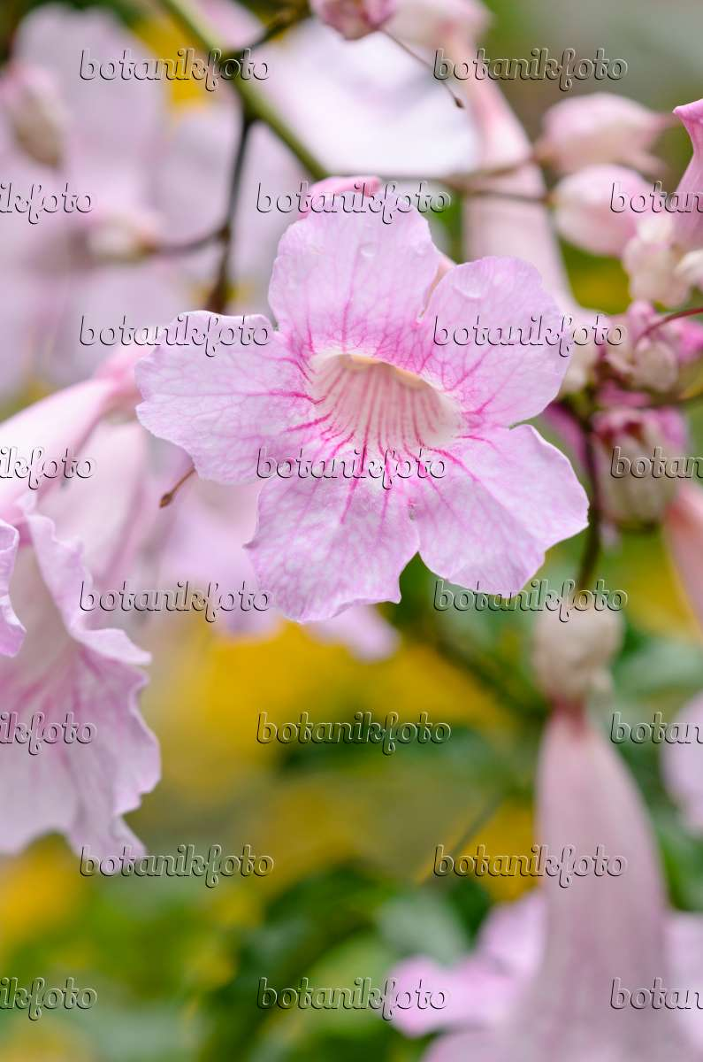Image pink trumpet vine podranea ricasoliana 535124 images and 535124 pink trumpet vine podranea ricasoliana mightylinksfo