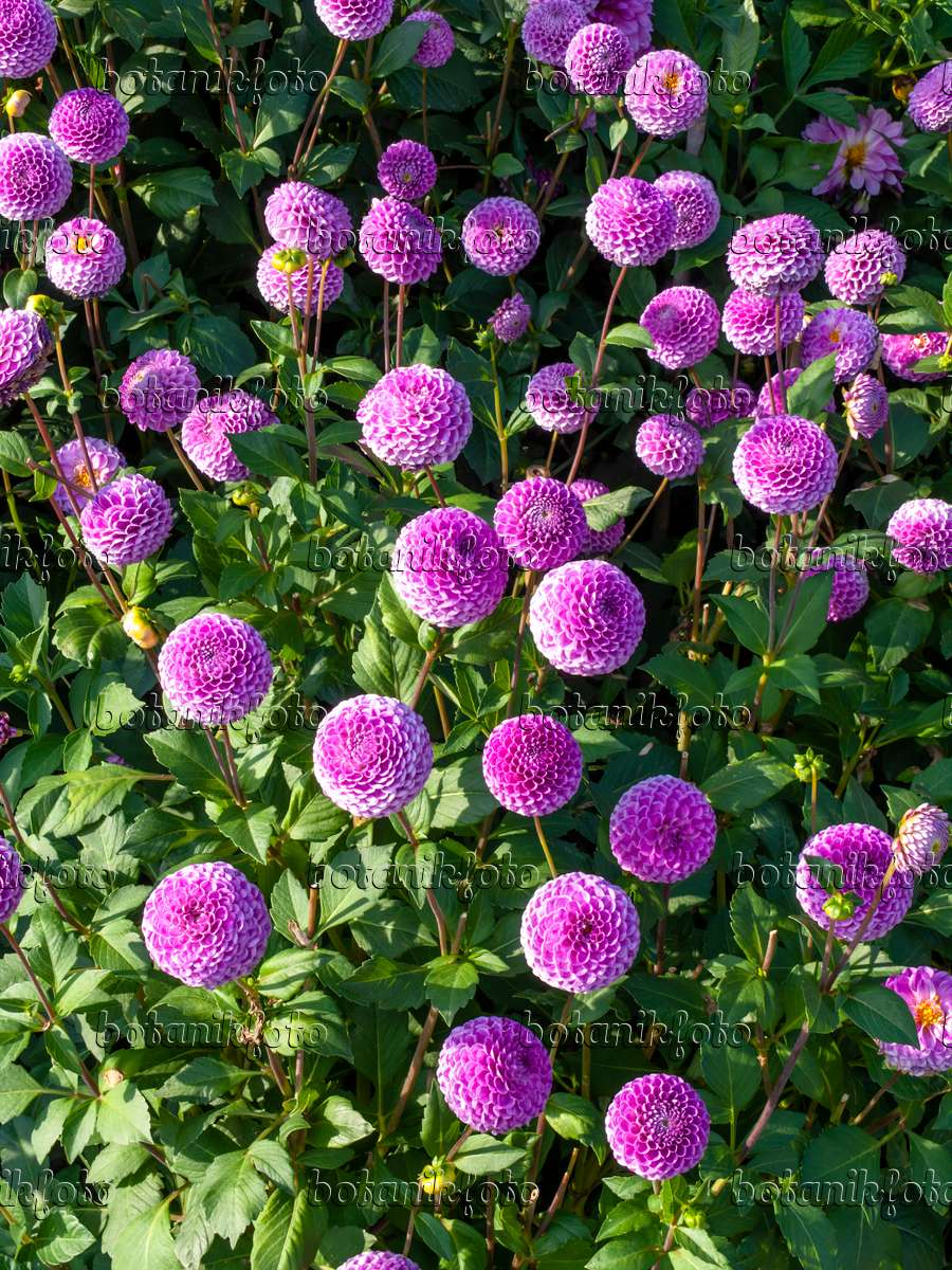 image pompon dahlia dahlia franz kafka 441180 images and videos of plants and gardens. Black Bedroom Furniture Sets. Home Design Ideas