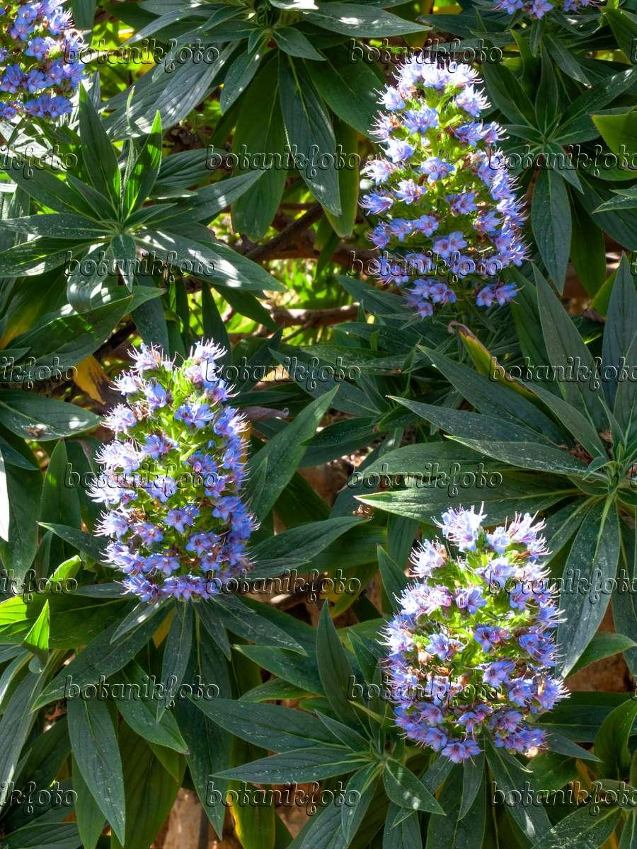 Image Pride Of Madeira Echium Candicans 424021