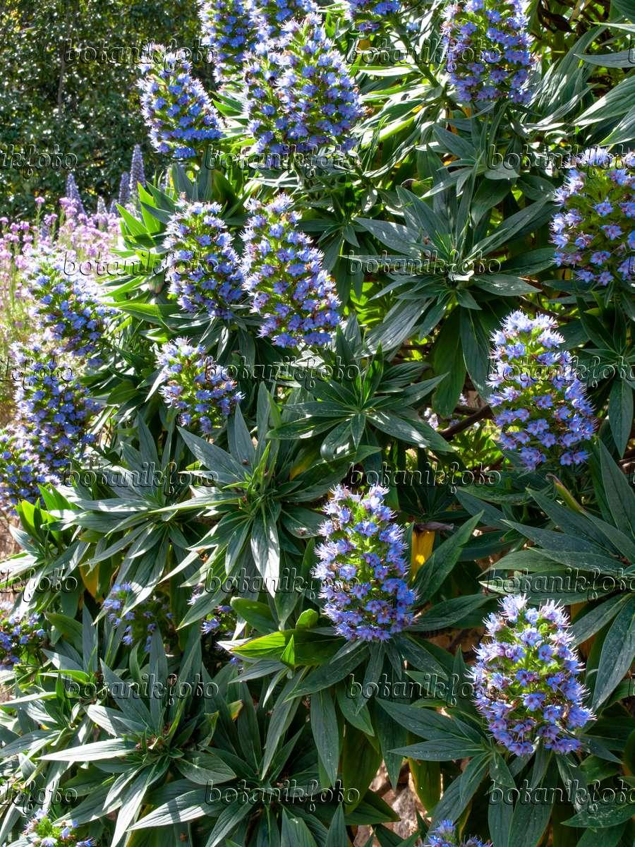 Image Pride Of Madeira Echium Candicans 424022