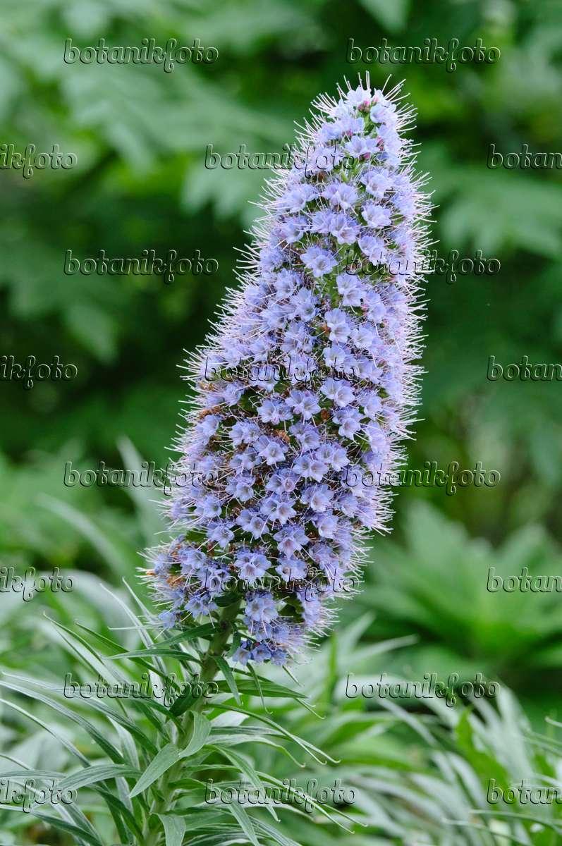 Image Pride Of Madeira Echium Candicans 469017