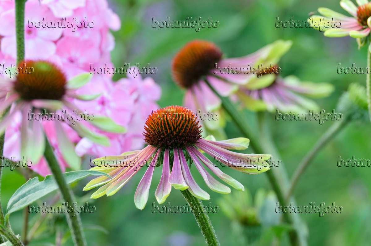 image purple cone flower echinacea purpurea 39 green envy. Black Bedroom Furniture Sets. Home Design Ideas
