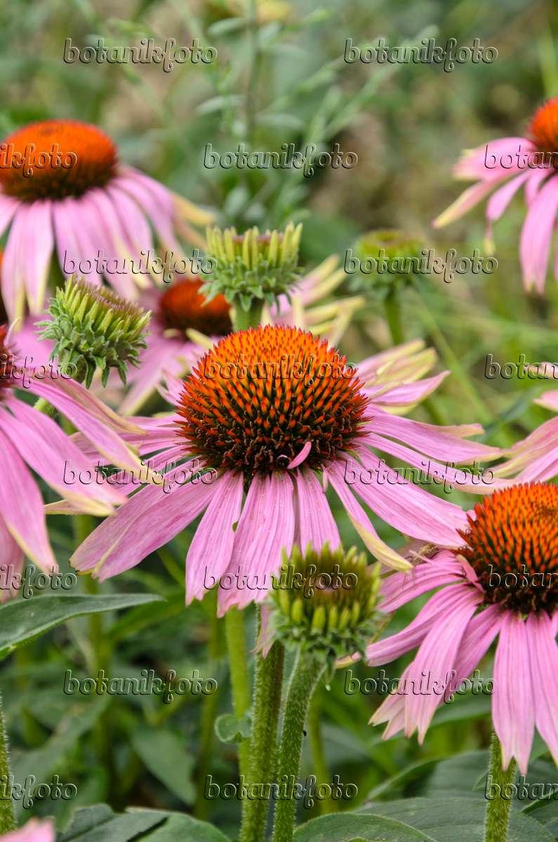 image purple cone flower echinacea purpurea 39 magnus. Black Bedroom Furniture Sets. Home Design Ideas