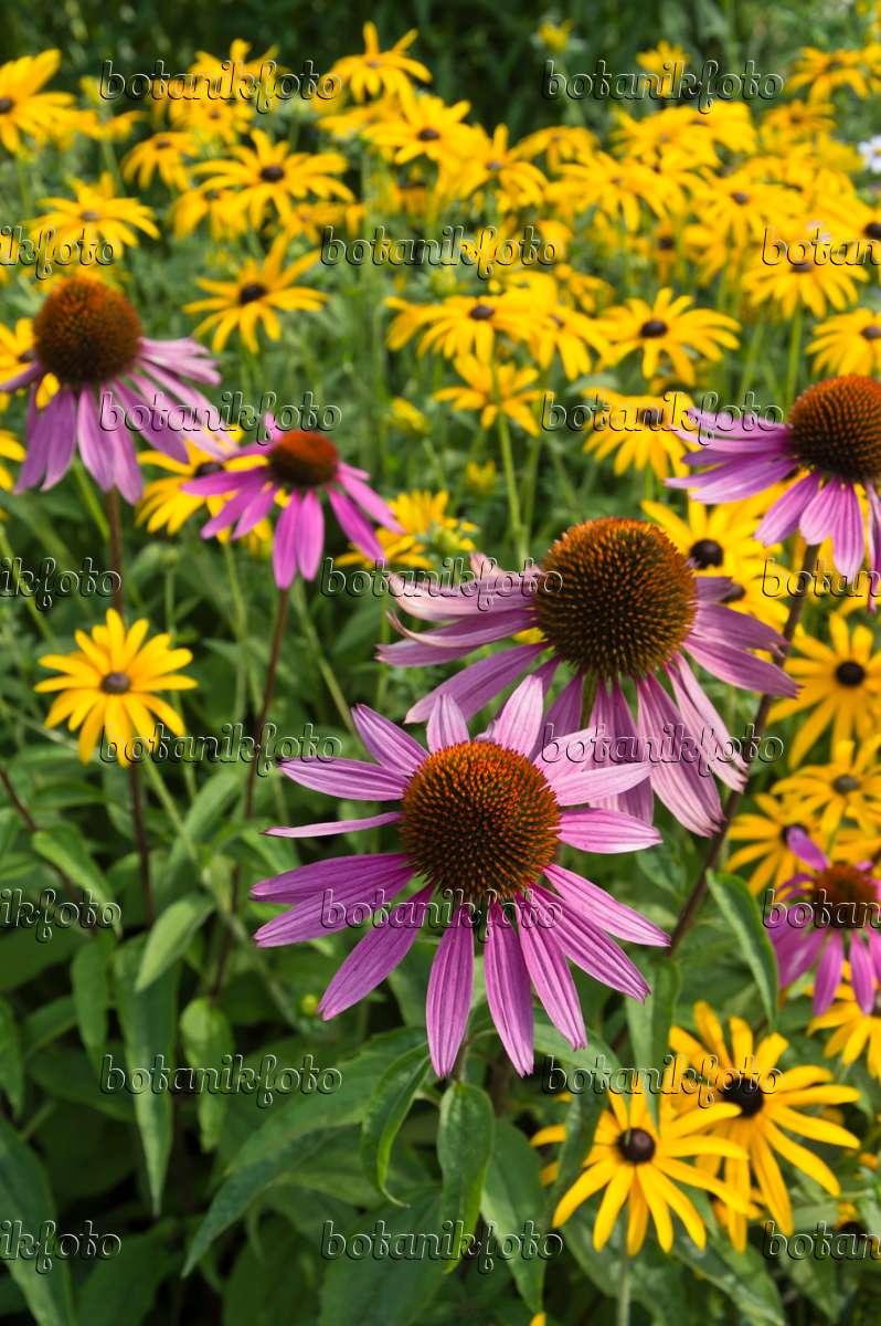 image purple cone flower echinacea purpurea 39 magnus 39 and. Black Bedroom Furniture Sets. Home Design Ideas