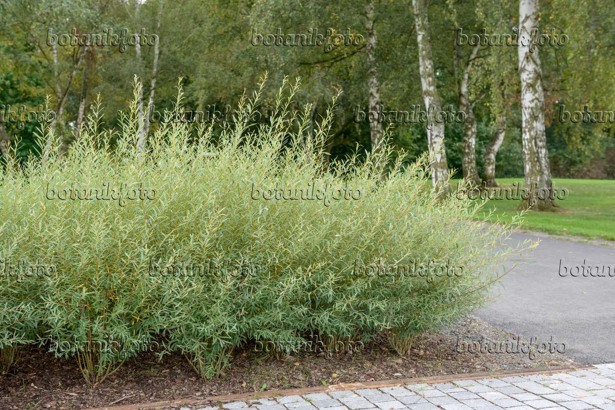 image purple willow salix purpurea 39 nana 39 547292 images and videos of plants and gardens. Black Bedroom Furniture Sets. Home Design Ideas