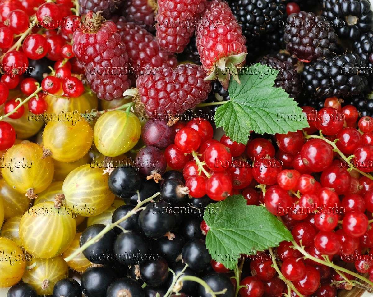 image red currant ribes rubrum gooseberry ribes uva crispa and blackberry rubus fruticosus. Black Bedroom Furniture Sets. Home Design Ideas