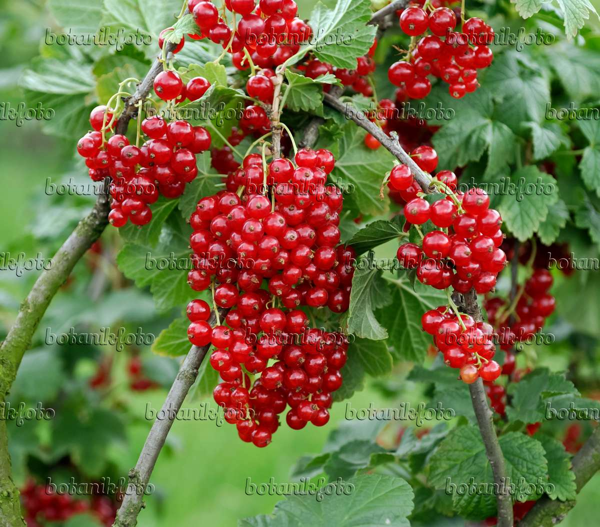 Currant Ribes