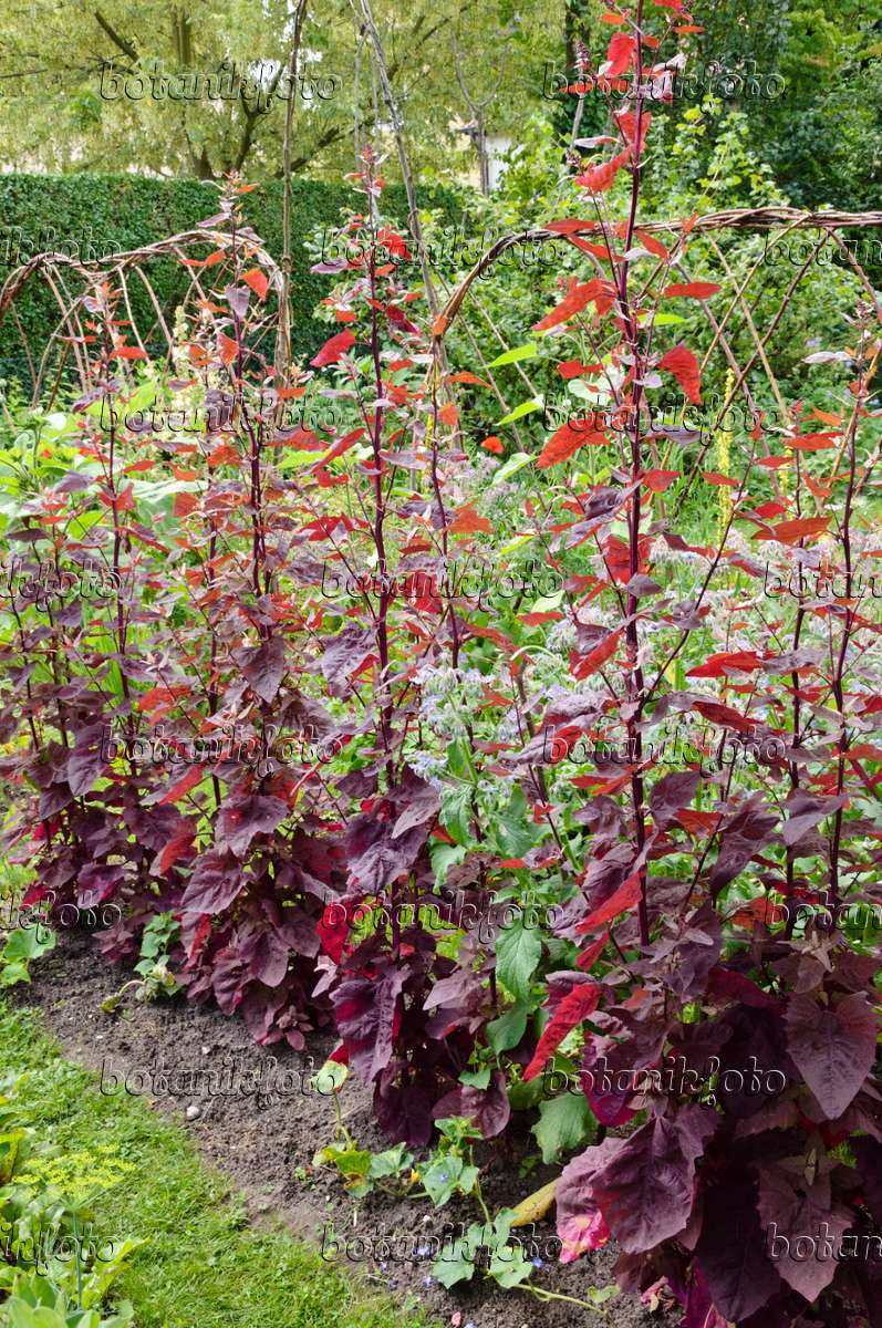 Image Red garden orache (Atriplex hortensis var. rubra) - 474125 ...