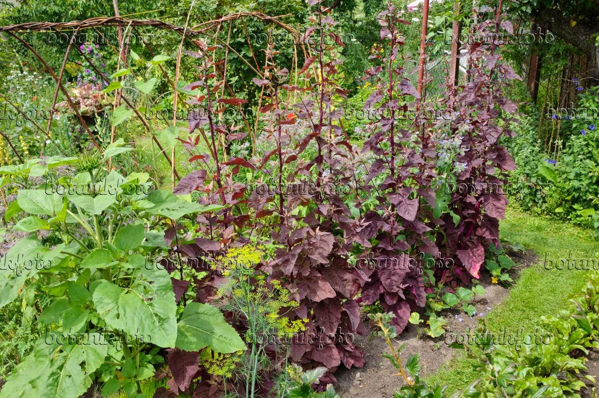Image Red garden orache (Atriplex hortensis var. rubra) in a ...