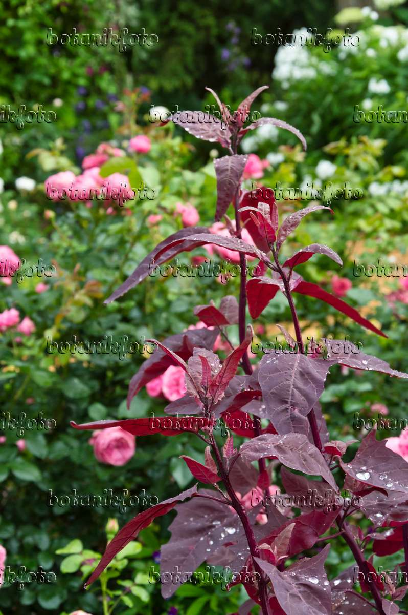Image Red garden orache (Atriplex hortensis var. rubra) and roses ...