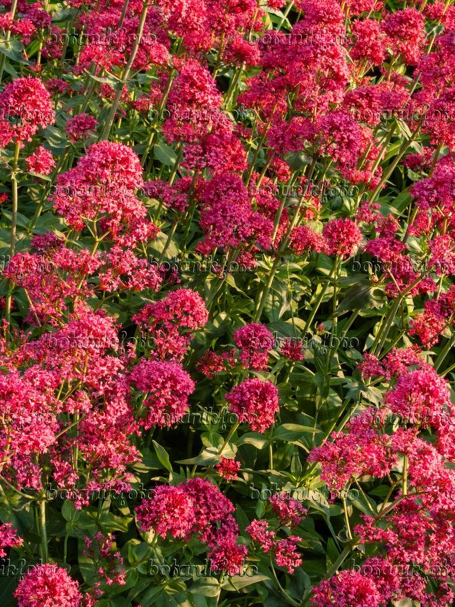 Цветы многолетники для сада долгоцветущие